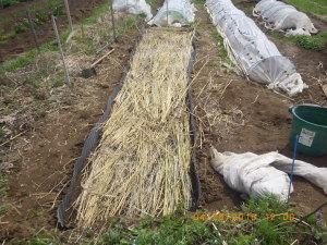 苗床、稲ワラでマルチ