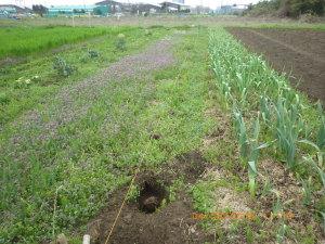 ホトケノザの花畑に化したタマネギ畑