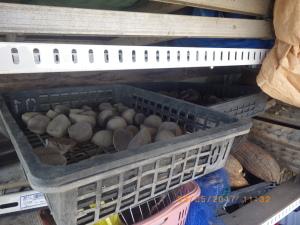 播種準備中の種芋