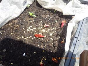 トウガラシ播種