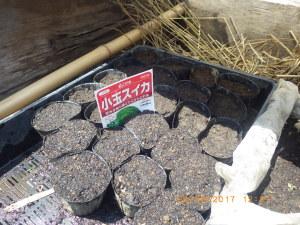 小玉スイカ播種