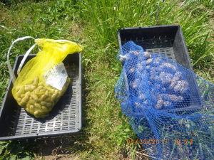 落花生の採種