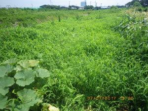 雑草に覆われたカボチャ畑