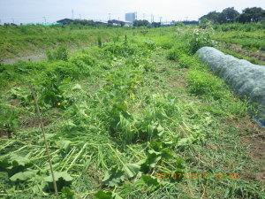 カボチャ畑の除草