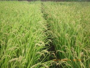 2回めの収穫を待つ稲2種