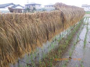 雨で濡れた稲