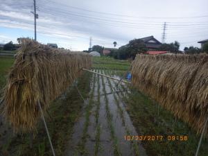 台風一過の田んぼ