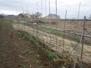 エンドウ豆の棚作り