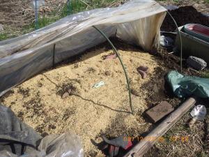金時芋を苗床に追加