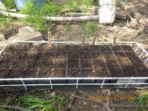 夏野菜を再度播種