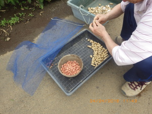 ラッカセイ播種の準備