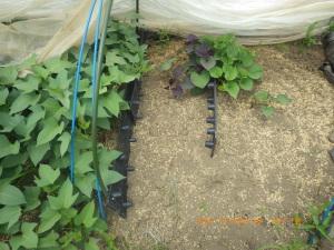 サツマイモ3種の発芽が揃う