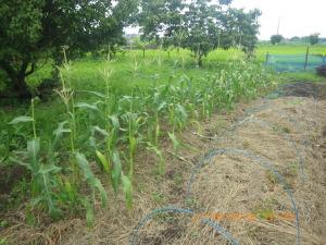 収穫間近のスイートコーン