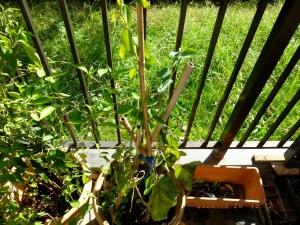 ブルーベリーの取り木